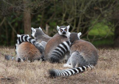 lemur-1435083_960_720